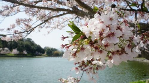 平成29年桜